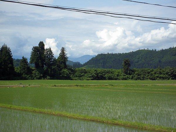 魚沼産コシヒカリの田んぼは雨上がりの朝でした