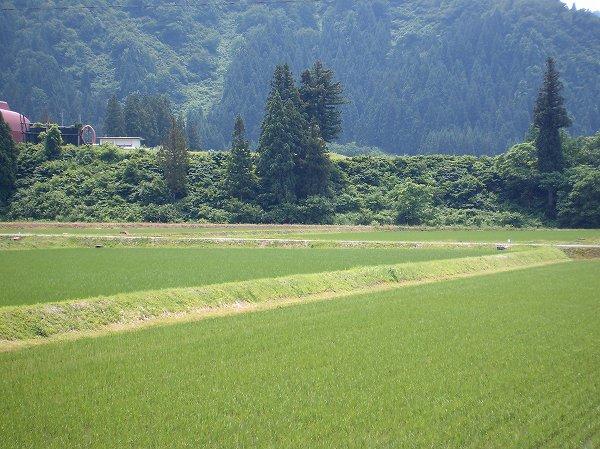 今日の魚沼産コシヒカリの田んぼはくもりで比較的過ごしやすいです
