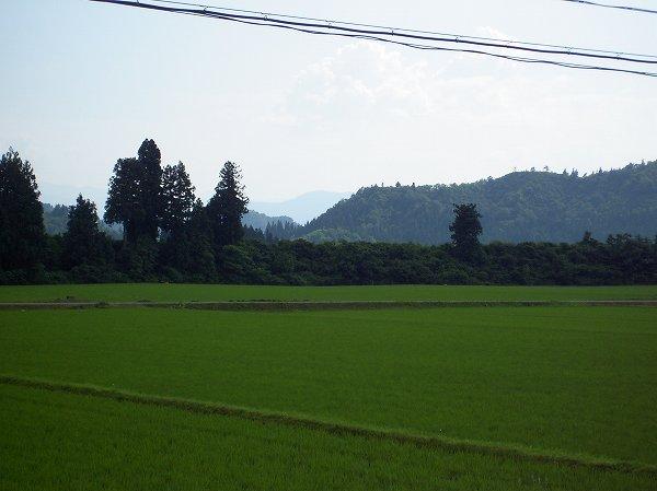 魚沼産コシヒカリの田んぼは夏本番の暑さになってきました