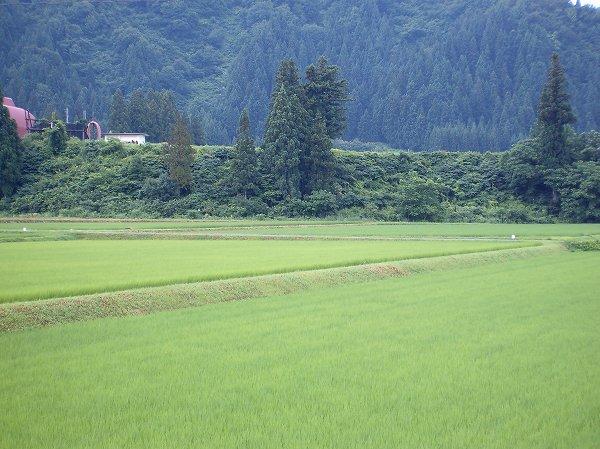 今朝の魚沼産コシヒカリの田んぼは雨上がりです