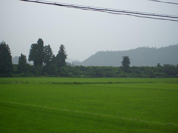 魚沼産コシヒカリの田んぼは夕方になって雨降りになりました