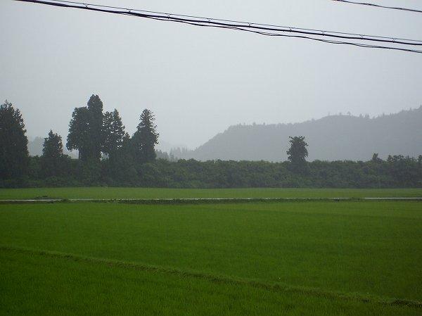 魚沼産コシヒカリの田んぼは雨降りになりました