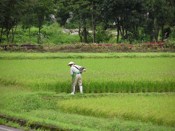 田んぼで畦の草刈りをしている人がいます