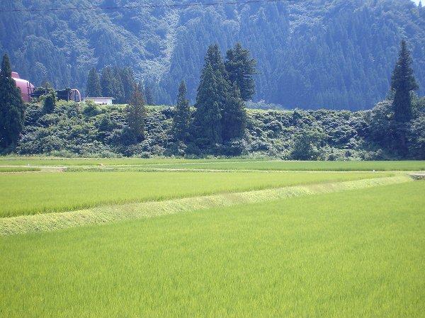 空には夏雲@魚沼産コシヒカリの田んぼ