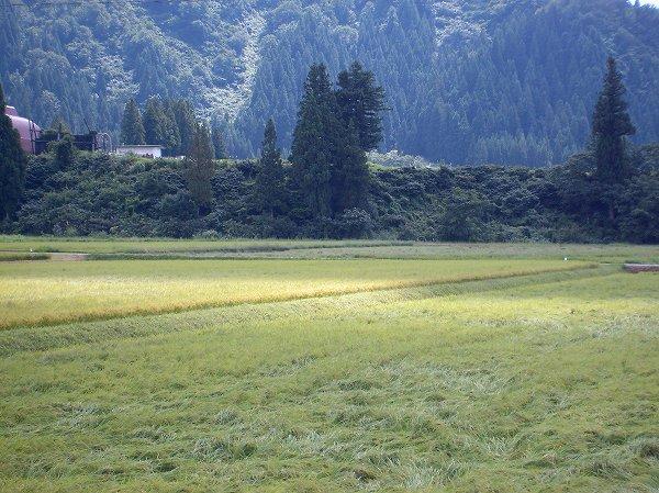 魚沼産コシヒカリの田んぼは爽やかな秋晴れです、といってもまだ8月ですが・・・