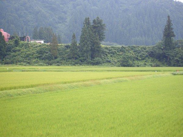 魚沼産コシヒカリの田んぼは雨降り・・・涼しくて過ごしやすいです