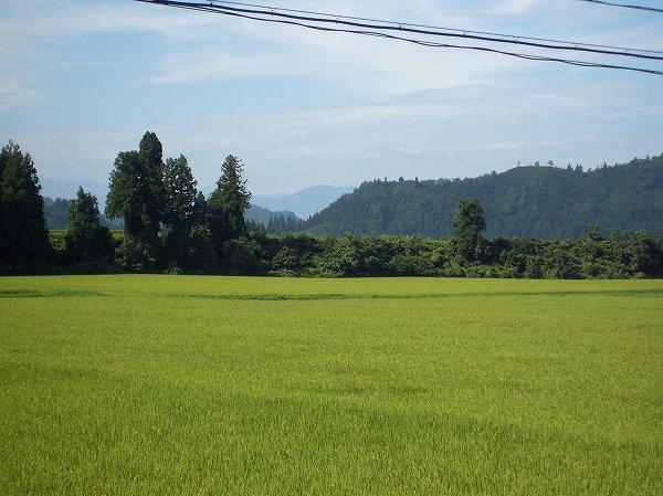 魚沼産コシヒカリの田んぼは朝から気温が高く暑いです