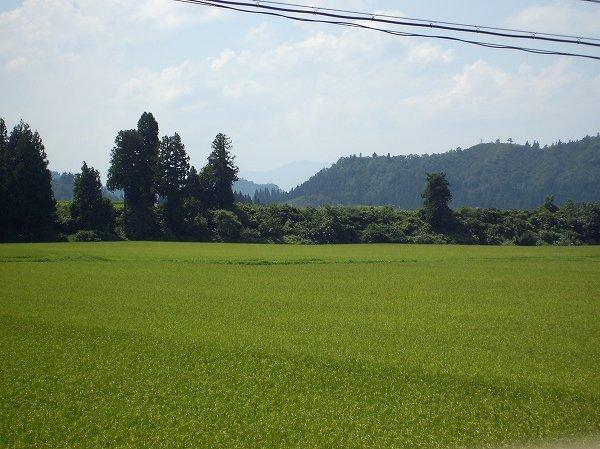 魚沼産コシヒカリの田んぼではお盆を過ぎてから暑い日が続いています