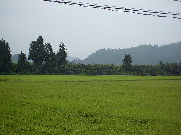 今朝の魚沼産コシヒカリの田んぼは弱い雨降りで涼しいです