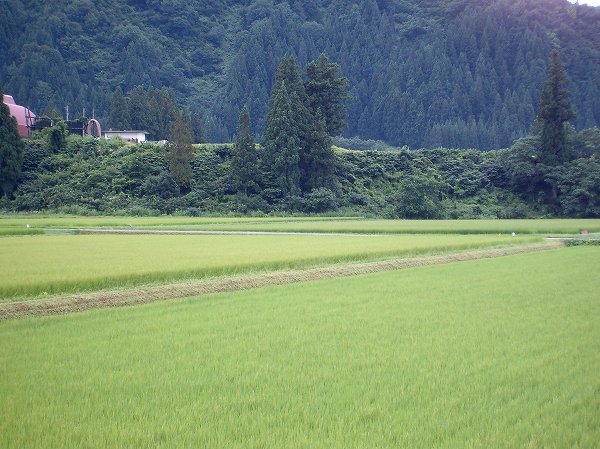 魚沼産コシヒカリの田んぼは3日続きの涼しい日になりそうです