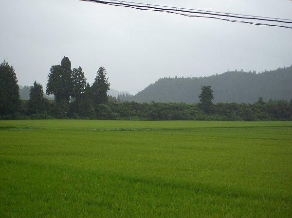 今日の魚沼産コシヒカリの田んぼは雨降り・・・気温が低いです