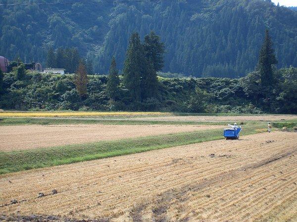 魚沼産コシヒカリの稲刈り作業が順調に進んでいます