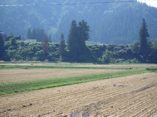 魚沼産コシヒカリの田んぼは今朝も秋晴れで、あたたかい陽ざしが気持ちいいです