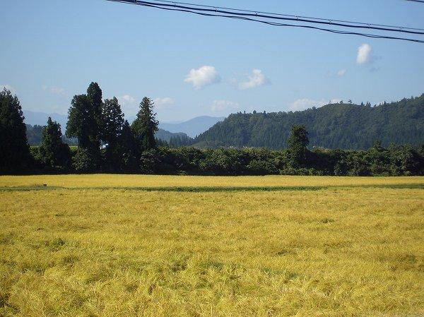 今日もいい天気・・・魚沼産コシヒカリの稲刈り作業が進んでいます