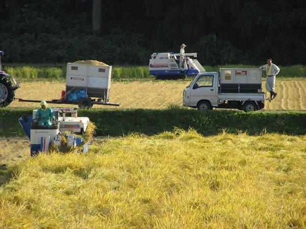 天候に恵まれて魚沼産コシヒカリの稲刈り作業がどんどん進んでいます