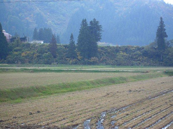 今日の魚沼産コシヒカリの田んぼは雨降りです