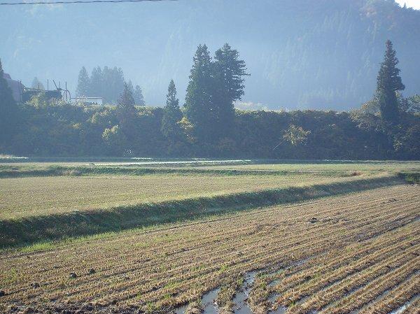 今朝の魚沼産コシヒカリの田んぼは陽ざしが心地よく感じます