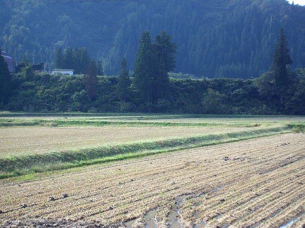 今朝も魚沼産コシヒカリの田んぼは青空が広がっていい天気です