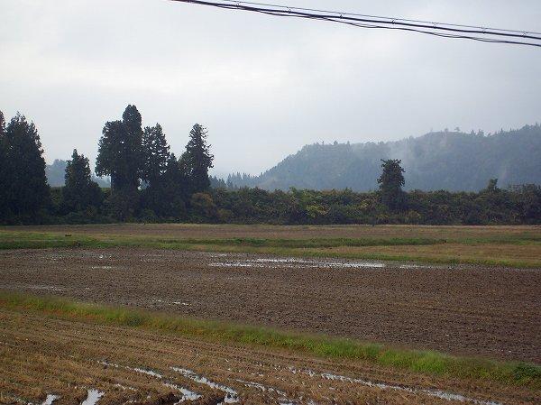 今朝の魚沼産コシヒカリの田んぼはくもりでやや肌寒いです