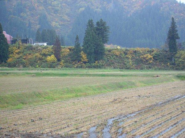 今日の魚沼産コシヒカリの田んぼは雨降りで肌寒いです