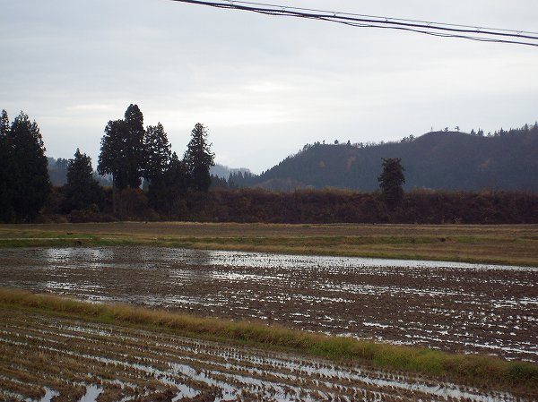 今朝の魚沼産コシヒカリの田んぼは雨が降っていますが、あまり寒さを感じません