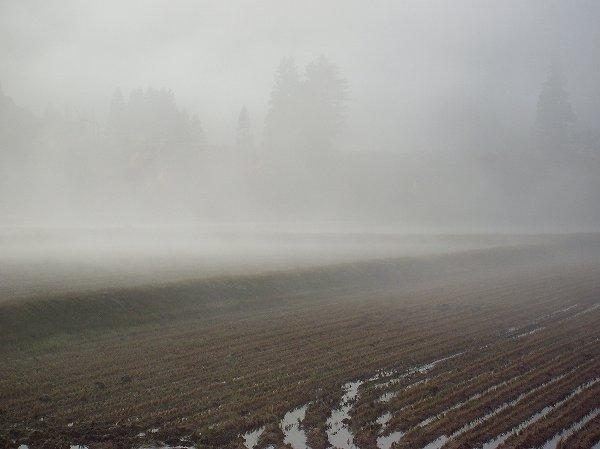 今朝の魚沼産コシヒカリの田んぼは霧に包まれています