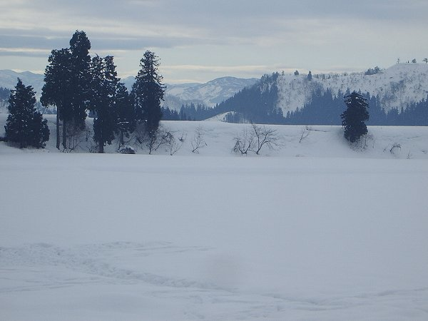 魚沼産コシヒカリの田んぼでは今朝から雪が降っていません