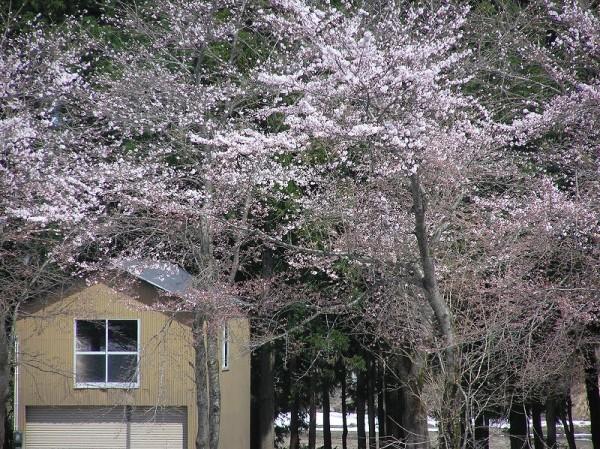 水無川の土手では桜の開花がどんどん進んでいます