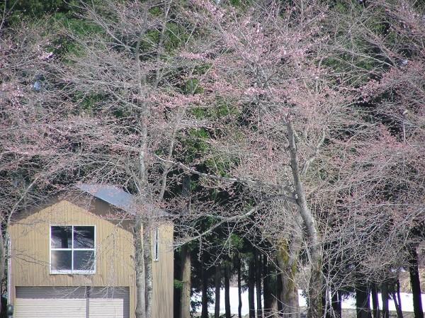 水無川の土手では桜が咲き始めました