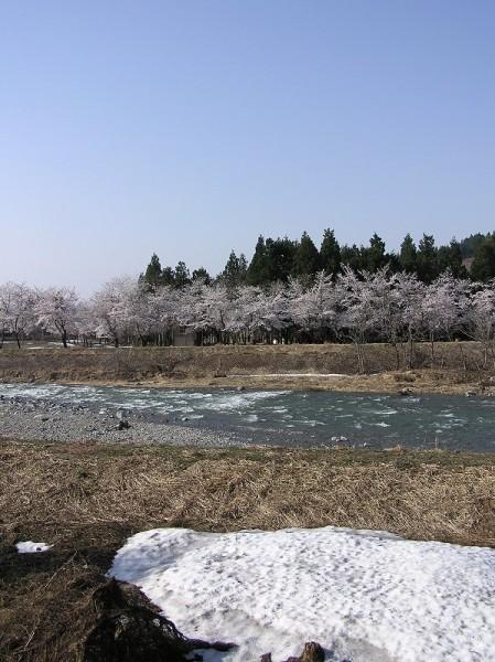 桜が満開で手前にはまだ雪が残っています