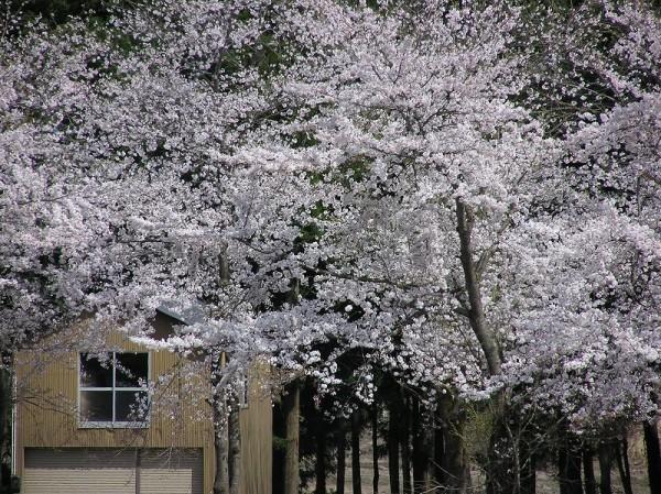 今年は天候が安定していて、満開の桜を何日も楽しむことができそうです