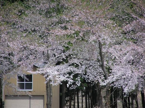 水無川の土手の桜が上の方からかなり散ってきました