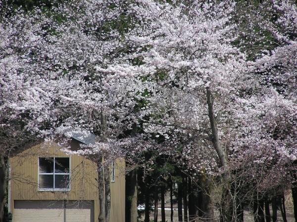 今日は日曜日で絶好の花見日和です