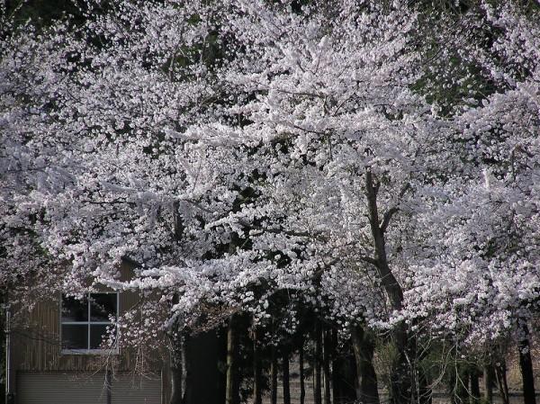 水無川の土手では桜が満開です