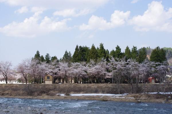 水無川の土手の桜が見頃を迎えています