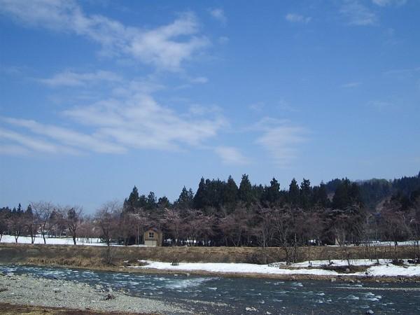 水無川の土手の桜が上の方から開花してきました