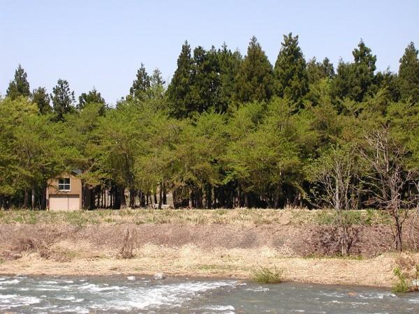 水無川の土手の桜はすっかり散りました
