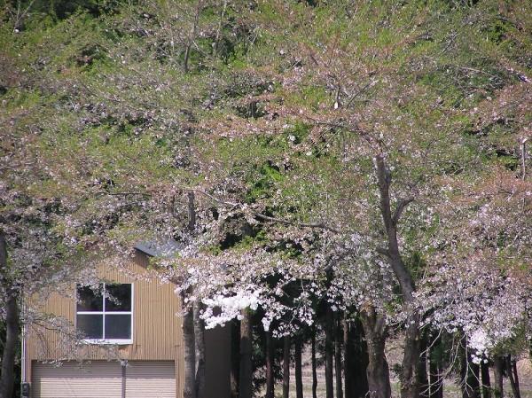水無川の土手の桜がほぼ葉桜になりました