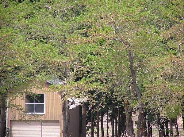 水無川の土手の桜はすっかり葉桜になりました
