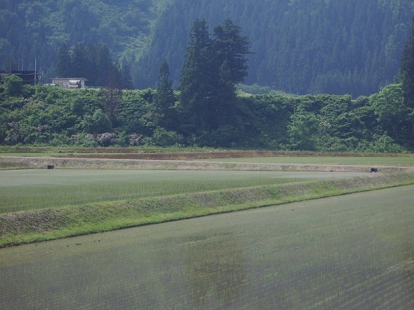 魚沼産コシヒカリの田んぼは今日も暑くなりそうです