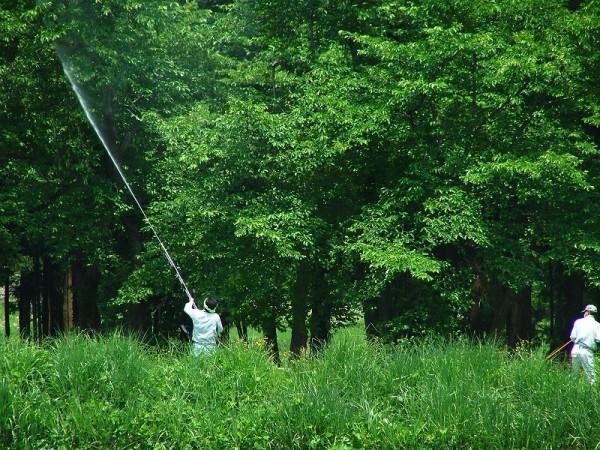 水無川の土手で桜の木のマイマイガ駆除作業