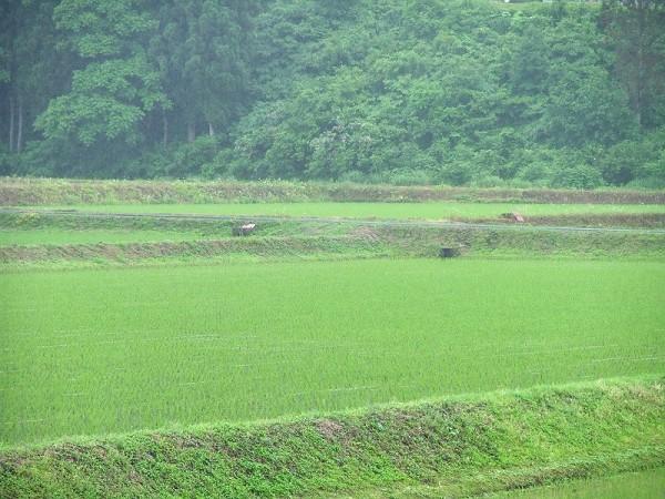 魚沼産コシヒカリの田んぼが緑色になっています