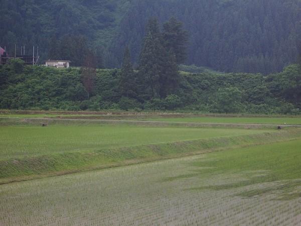 魚沼産コシヒカリの田んぼは強い風が吹いていました
