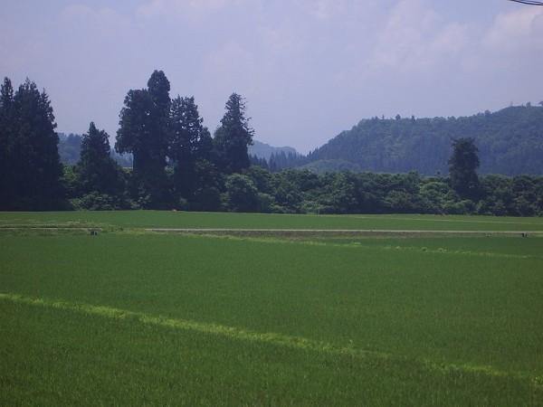 魚沼産コシヒカリの田んぼはよく晴れていて陽ざしも強めです