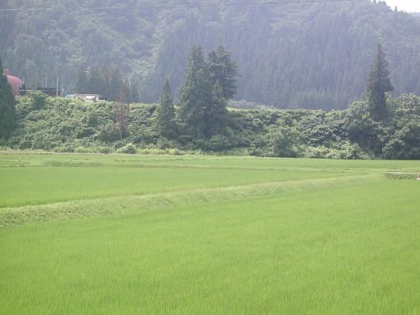 魚沼産コシヒカリの田んぼはジメジメとして蒸し暑いです