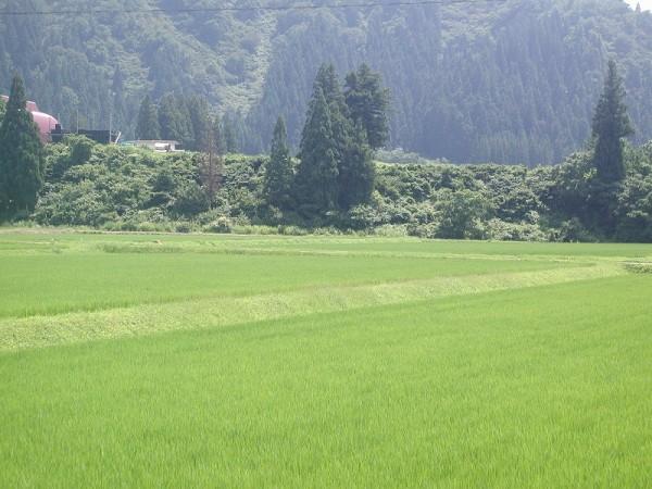 魚沼産コシヒカリの田んぼは今日もまた暑いです