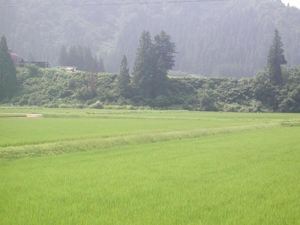 魚沼産コシヒカリの田んぼは真夏の暑さです