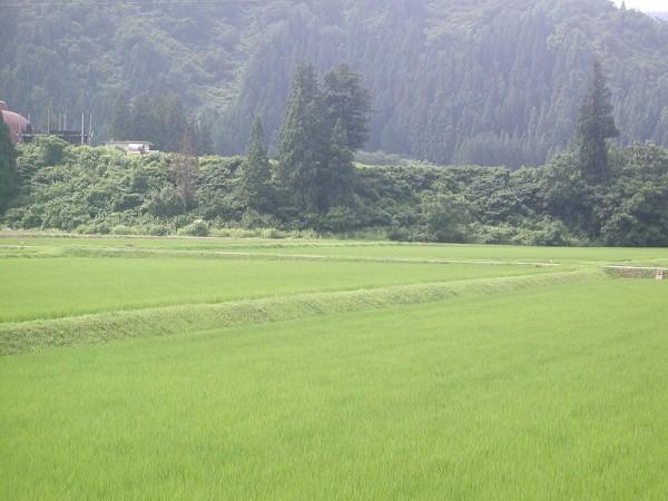 魚沼産コシヒカリの田んぼは少し陽ざしがあって蒸し暑いです