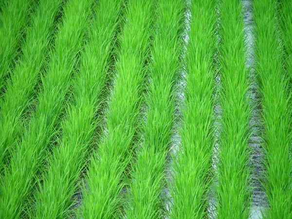 中干しが行われている魚沼産コシヒカリの田んぼ