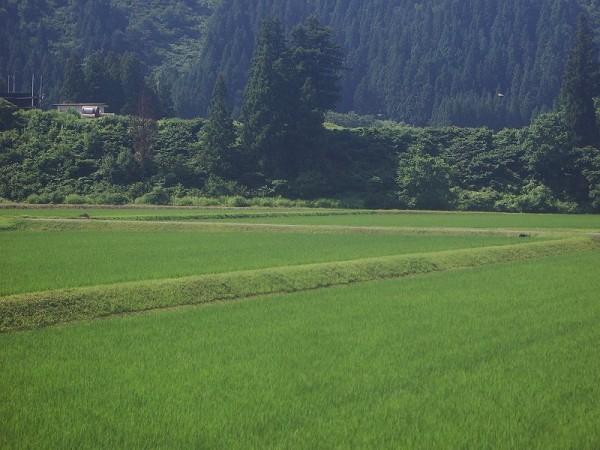 朝になってから魚沼産コシヒカリの田んぼは晴れてきました